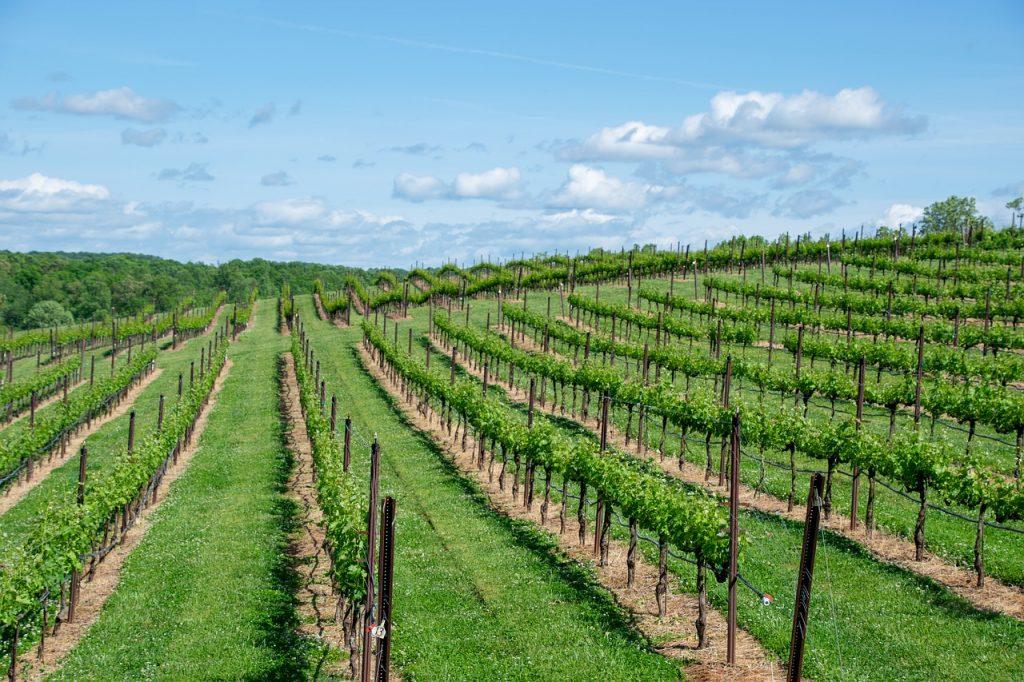 vitigni francesi bordeaux